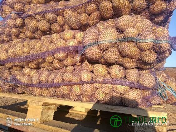 Продаем картофель на экспорт из России.
